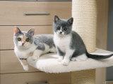 Two British Shorthair Kittens