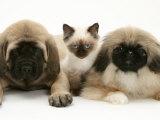 Pekingese and English Mastiff Puppies with Birman-Cross Kitten