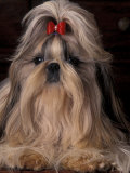 Shih Tzu Portrait with Hair Tied Up  Showing Length of Facial Hair