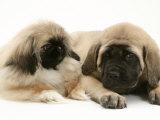Pekingese Pup with English Mastiff Puppy