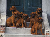 Domestic Dogs  Seven Rhodesian Ridgeback Puppies Sitting on Steps
