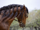 Bay Andalusian Stallion  with Plaited Mane and Bridle  Austin Texas  USA