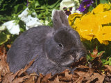 Netherland Dwarf Rabbit  Amongst Flowers  USA