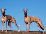 Domestic Dogs  Two Whippets Standing Together