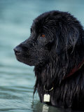 Black Newfoundland Standing in Water