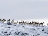 Pronghorn Antelope  Herd in Snow  Southwestern Wyoming  USA