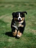 Bernese Mountain Puppy Running