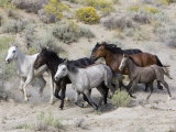 Group of Wild Horses  Cantering Across Sagebrush-Steppe  Adobe Town  Wyoming