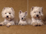 Domestic Dogs  Two West Highland Terriers / Westies with a Puppy