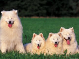 Domestic Dogs  Samoyed Family Panting and Resting on Grass