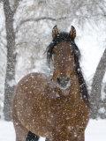 Etalon andalou bai sous la neige, Longmont, Colorado, Etats-Unis Papier Photo par Carol Walker
