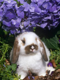 Baby Holland Lop Eared Rabbit  Amongst Hydrangeas  USA