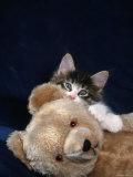 Norwegian Forest Kitten with Teddy Bear