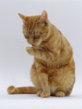 Domestic Cat  Ginger Tabby Female Sitting Licking Front Paw