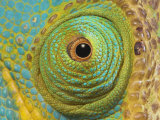 Male Parson's Chameleon  Close up of Eye  Ranomafana National Park  South Eastern Madagascar