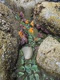 Giant Green Anemones  and Ochre Sea Stars  Exposed on Rocks  Olympic National Park  Washington  USA