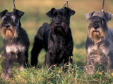 Domestic Dogs  Three Miniature Schnauzers on Leads