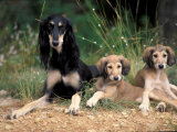 Saluki with Two Puppies