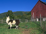 Domestic Llama  on Farm  Vermont  USA