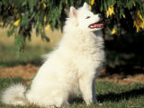 Japanese Spitz Sitting and Looking Up