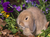 Baby Holland Lop Eared Rabbit  USA