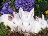 Domestic New Zealand Rabbits  Amongst Hydrangeas  USA