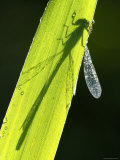 Blue-Tailed Damselfly  Silhouette on Leaf  Tamar Lake  Cornwall  UK