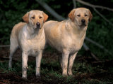 Domestic Dogs  Two Labrador Retrievers