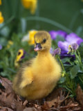 Domestic Gosling Amongst Pansies  USA