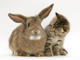 British Shorthair Brown Tabby Female Kitten Looking Inquisitivly at Young Agouti Rabbit