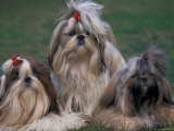 Domestic Dogs  Three Shih Tzus Sitting or Lying on Grass with Their Hair Tied Up