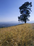 Barley Field on the Slopes of Entoto  Shoa Province  Ethiopia  Africa