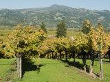 Vineyard  Sonoma County  California  USA