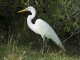 Egret  Everglades National Park  Unesco World Heritage Site  Florida  USA