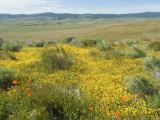 Antelope Valley Poppy Reserve  California  USA