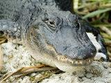 Alligator  Everglades National Park  Florida  USA