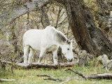 Wild Horses  El Calafate  Patagonia  Argentina  South America