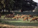 Deer  Richmond Park  Surrey  England  United Kingdom