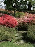 Azaleas in Flower  Valley Gardens  Windsor Great Park  Surrey  England  United Kingdom