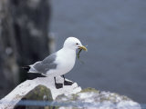 Kittiwake  Pembrokeshire  Wales  United Kingdom