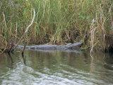Alligator, Anhinga Trail, Everglades National Park, Florida, USA Papier Photo par Fraser Hall