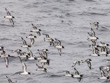 Cape Petrels (Daption Capense)  Antarctica  Polar Regions