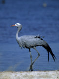 Blue Crane  Anthropoides Paradisea  Etosha National Park  Namibia  Africa