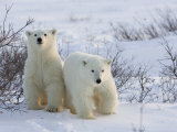 Polar Bear Cubs (Ursus Maritimus), Churchill, Hudson Bay, Manitoba, Canada Papier Photo par Thorsten Milse