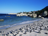 African Penguins at Boulder Beach in Simon's Town  Near Cape Town  South Africa  Africa