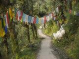Path and Prayer Flags  Mcleod Ganj  Dharamsala  Himachal Pradesh State  India