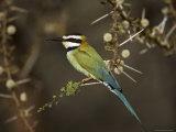 White-Throated Bee-Eater (Merops Albicollis) Perched in an Acacia Tree  Samburu Game Reserve  Kenya