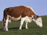 Hereford Cow Grazing on Hillside  Chalk Farm  Willingdon  East Sussex  England