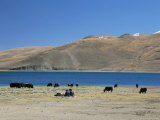 Yaks Graze by Yamdrok Lake Beside Old Lhasa-Shigatse Road  Tibet  China