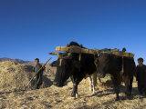 Boys Threshing with Oxen  Bamiyan  Bamiyan Province  Afghanistan